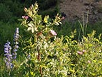 Penstemon flowers grow along side a Wild Rose bush.