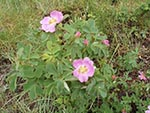 The Wild Rose is a pretty pink flower. Beware, like other rose bushes the Wild Rose is prickly.