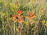 The Paintbrush family comes in many varieties. Is this one Indian Paintbrush?