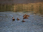 A family of ducks enjoys the lake as much as Ranch guests.